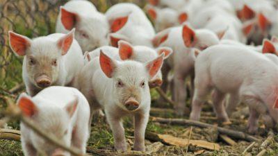Cine știa încă din 2016 de pesta porcină, boala care ucide porcii românilor