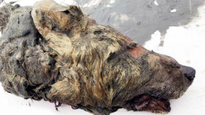 Lup gigant, găsit conservat în Siberia: la ce întrebări poate răspunde descoperirea oamenilor de știință