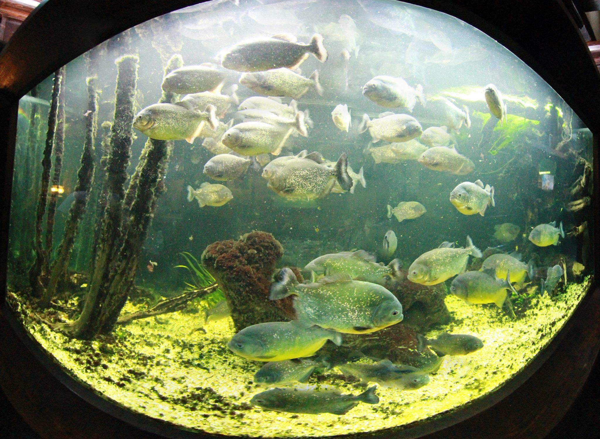 Pești Piranha, în lacul Firiza din Maramureș. Aceștia sunt foarte periculoși, putând ataca oamenii