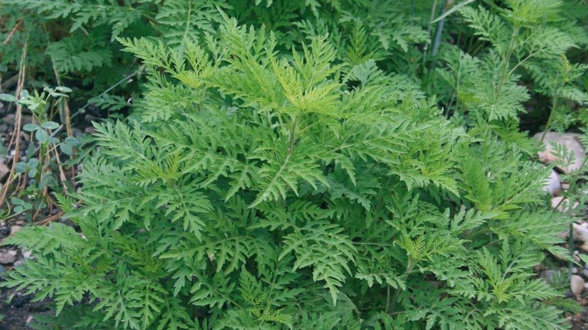 Planta Ambrozia.