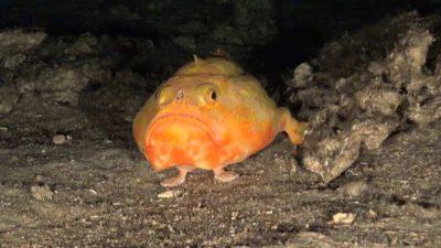 Peștele cu picioare, cea mai ciudată creatură: care este explicația cercetătorilor