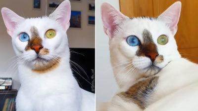Bowie, pisica specială cu ochi de culori diferite care îți amintește de artistul unei generații