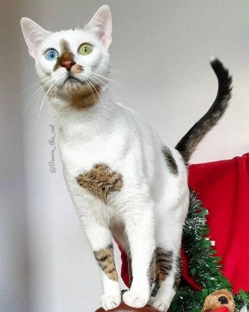 bowie pisica adoptata