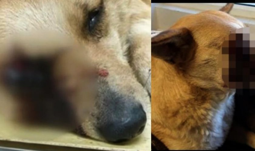 Cine sunt vinovații în cazul cățelușei mutilate cu o petardă. Cât de gravă este situația