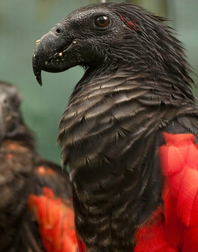 papagalul dracula similaritati conte 2