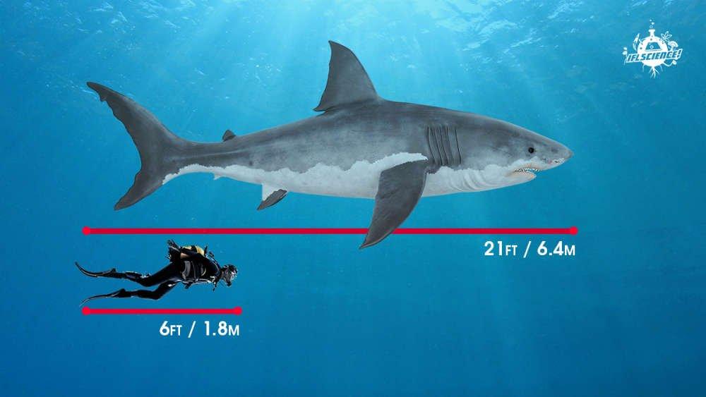 rechin marele alb comparatie