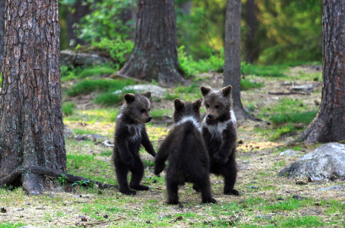 ursi joaca padure reactie