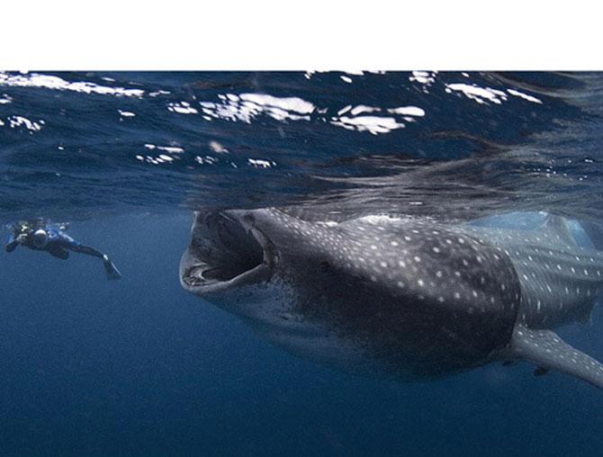Rechinii balenă, cei mai mari pești