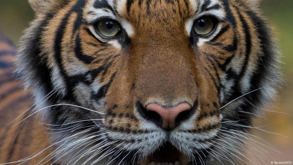 Un tigru din New York, infectat cu coronavirus