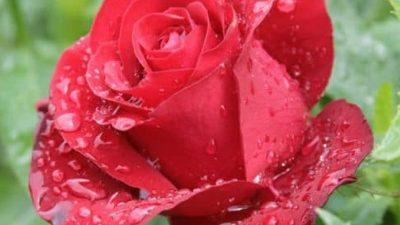 Soluția de apă cu bicarbonat de sodiu îți protejează trandafirii de boli. Iată cum se prepară