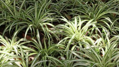 Cea mai bună plantă pe care trebuie s-o ai în casă. Este perfectă pentru respirație