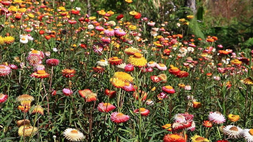 Florile nemuritoare, plantele preferate din sezonul rece