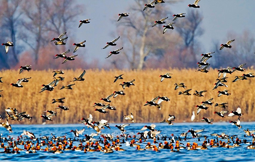 A început migrația de toamnă! Foto: Daniel Petrescu