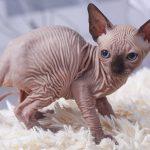 Pisici care nu lasa păr deloc – ce rase sunt recomandate celor care chiar țin la curățenie