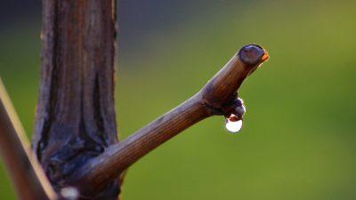 Lacrimi de viță de vie, un leac băbesc uitat. Ce beneficii miraculoase are pentru sănătate