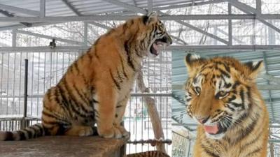 Tigrul care 'cântă' face senzație la zoo. Ce se aude când deschide gura, de fapt VIDEO