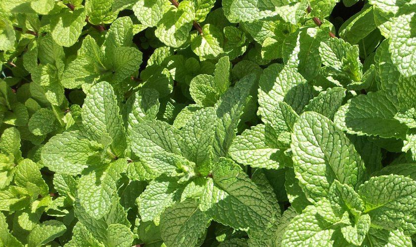 Plantele care sunt aur pentru sănătate. Perfecte pentru sănătatea ta