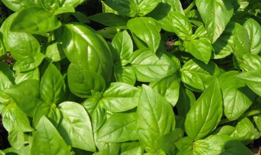 Planta minune care 'omoară' colesterolul. Este aur pentru sănătatea ta