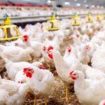 Gripa aviară face prăpăd în Ialomița. Mai multe localități au fost incluse în zona de risc înalt