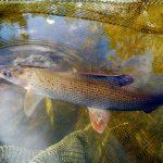 Peștii din România sunt stresați. De ce au ajuns cercetătorii la concluzia asta și ce decizie s-a luat