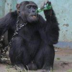 Povestea cimpanzeului dependent de alcool și țigări. Ce decizie au luat autoritățile