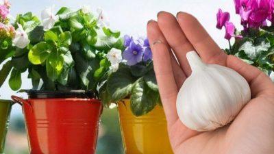 Ce s-a întâmplat cu florile unei femei, după ce a pus un cățel de usturoi în el. Surpriza a fost colosală