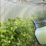 Ingredientele secrete care îți cresc tufele de castraveți. Sunt ieftine și cât se poate de naturale