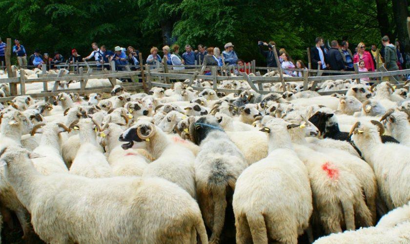 Sfințitul oilor în satul Râpa de Jos, obicei străvechi păstrat până-n zilele noastre. Ce rol are acesta