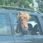 Un cal, pe bancheta din spate a unui ieșean. Cei doi copii stăteau lângă animal FOTO