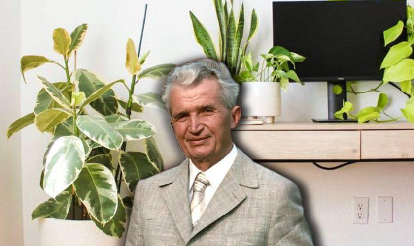"""Planta """"la modă"""" pe vremea lui Nicolae Ceaușescu. Cândva umplea apartamentele, dar acum doar câțiva oameni o mai țin în casă"""