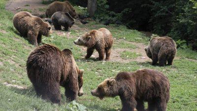 Ce fac alte țări când urșii devin un pericol pentru oameni. Măsuri ce pot fi aplicate și în România