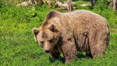 Opt intervenții ale jandarmilor din Harghita, de vineri până luni, pentru alungarea urșilor. Localnicii sunt înspăimântați