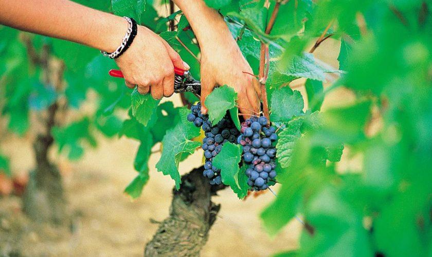 Când se culege via. Calendarul oficial al agricultorilor din România