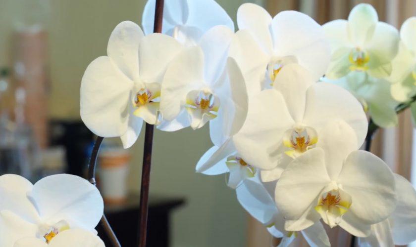 Orhidee cu rădăcina putrezită? Cum o salvezi și cum previi această problemă, în viitor