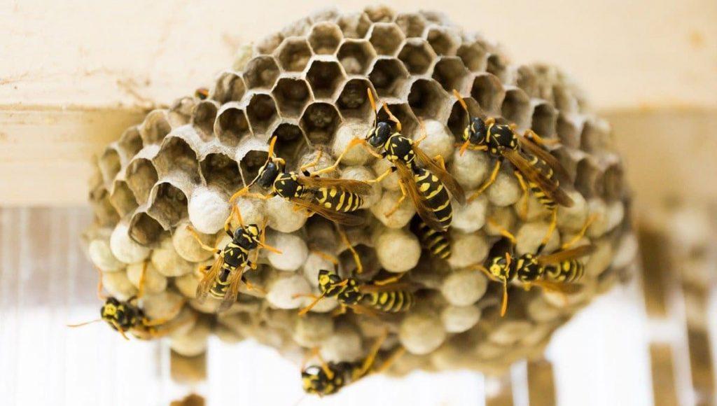 Soluțiile simple pentru a scăpa de cuiburile de viespi. Nu vei mai avea griji după