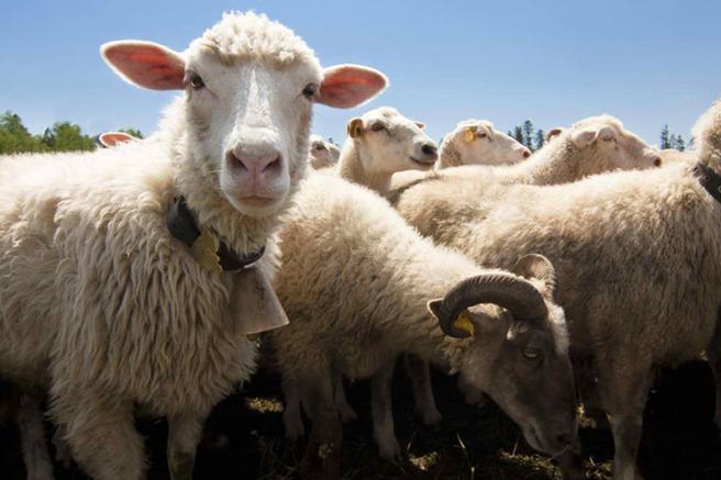 Un nou gadget ar putea salva oile de lupi