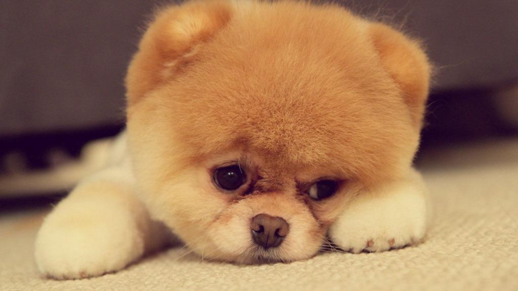 Beluvv Puppy te ajută să nu-ţi mai pierzi niciodată căţelul [VIDEO]
