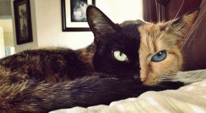 Planul bizar al americanilor: de ce au vrut pisici care își schimbă culoarea