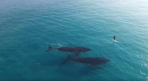 Două balene filmate cu o dronă sunt surprinse înotând alături de un surfer [VIDEO]