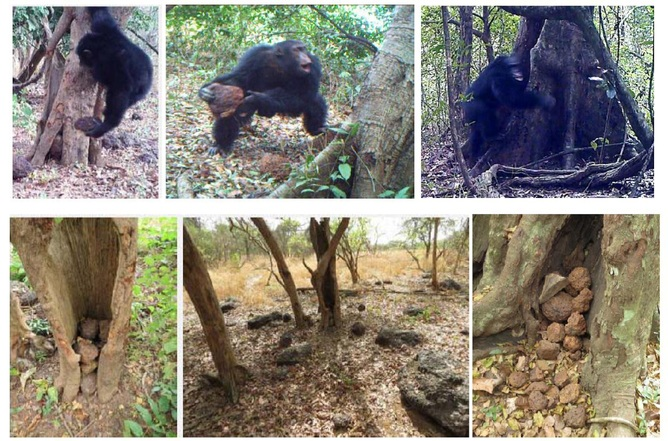 Cimpanzeu aruncand pietre - ritual