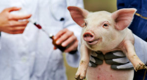 Porcii modificați genetic ar putea fi sursa de carne sănătoasă