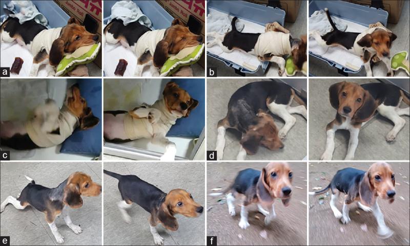 transplant de cap caine beagle experiment