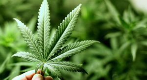 Excesul de cannabis ar putea duce la slăbirea rezistenței oaselor