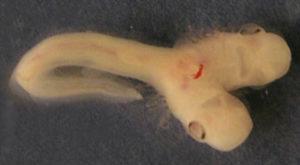 Un rechin cu două capete s-a născut într-un laborator de cercetare