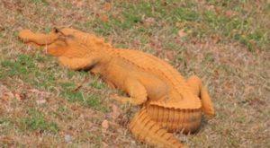 """Trumpgator, o nouă specie de aligator, este recomandat ca """"a opta minune a lumii"""""""