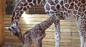 Fascinația pentru girafe a depășit toate recordurile pe YouTube