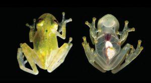 Broasca mutant este atât de transparentă încât îi poți vedea organele interne