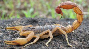 Acest robot a fost creat special pentru a extrage veninul scorpionilor