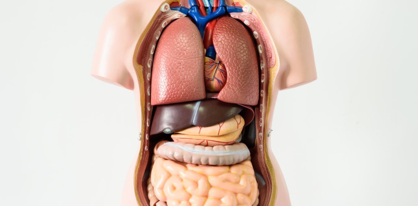 """Corpul uman mai are un """"organ"""" de care nu știai și e mai mare decât ..."""