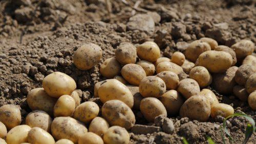 Beneficiul cartofilor modificați genetic la care nu se gândea nimeni